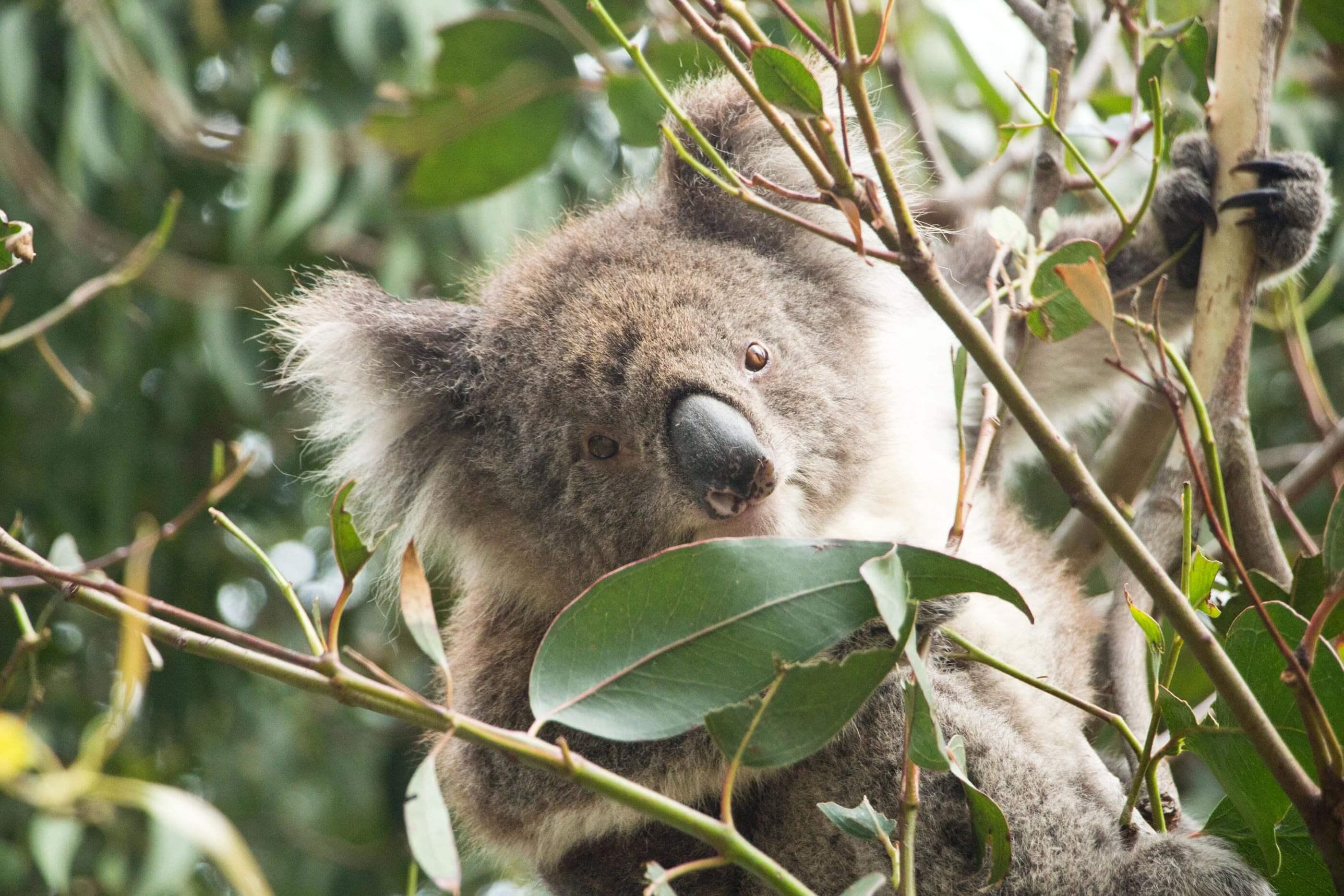 YVONNE RUNDIO SOMEWHERE ELSE Fotografie Australien Koala